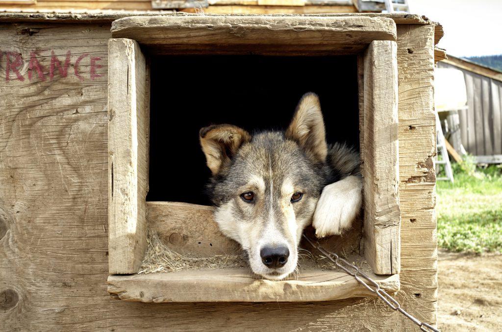 Yukon River Kanutour - Husky, der aus dem Fenster seines Hundehauses schaut.