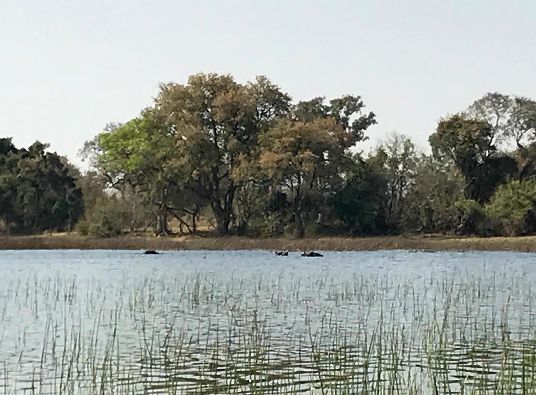 Eine Gruppe Hippos im Okavango Delta