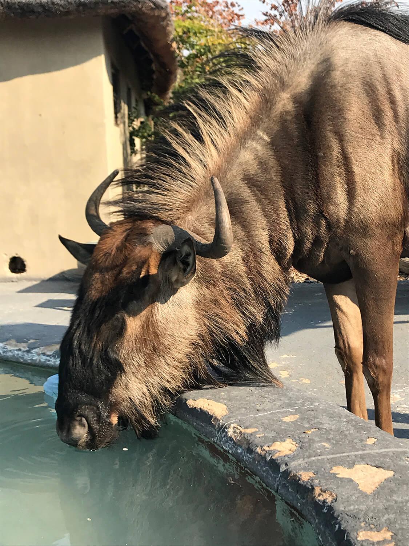 Zahmes und freilebendes Gnu in der Kalahari Rest Lodge Botswana