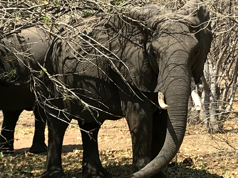 Elefanten an der Chobe Riverfront im Chobe National Park, Botswana