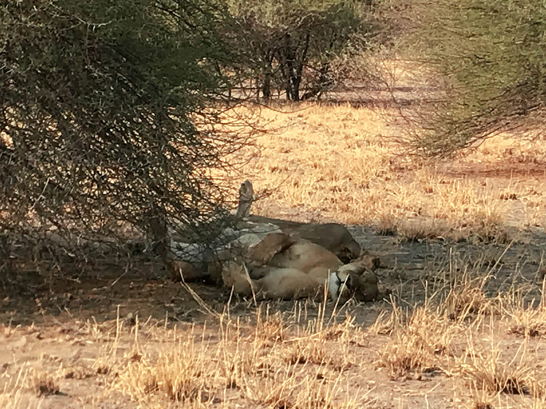 Löwen im Central Kalahari Park, Botswana