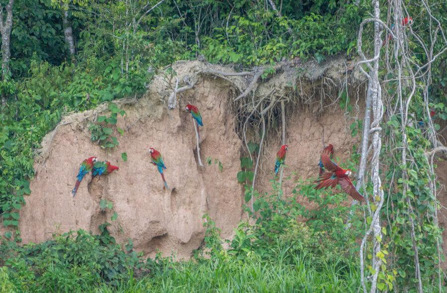 Farbenfrohe Papageien und Aras im Amazonas-Gebiet von Peru.
