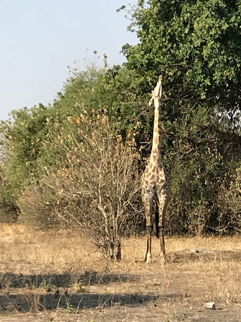 Giraffen im Chobe National Park