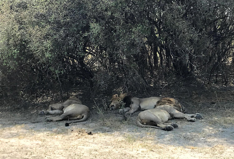 Löwen im Moremi Game Reserve, Botswana