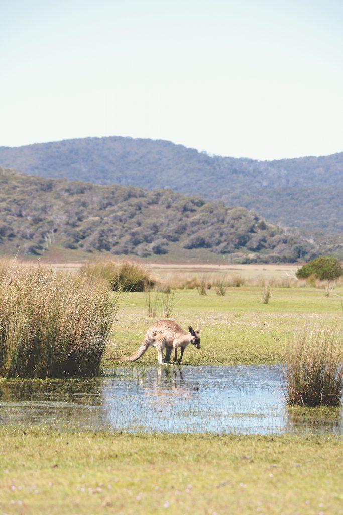 Umgeben von Kängurus: Eines der Beuteltieren genehmigt sich einen Schluck Wasser am Campingplatz im Cradle-Mountain-Lake-St.-Clair-Nationalpark.