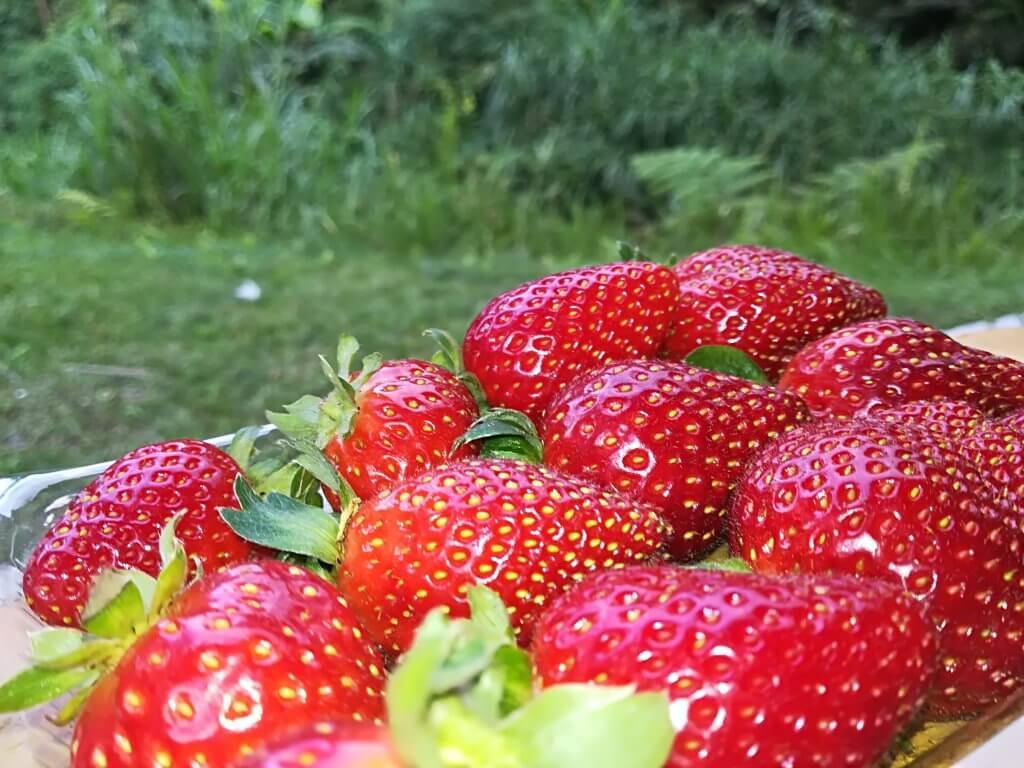 Erdbeeren auf einer Erdbeerfarm in Malaysia.