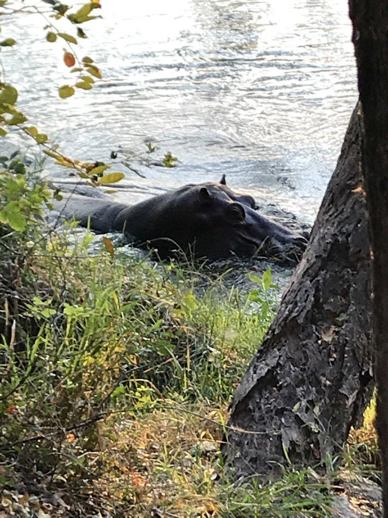 Hippos direkt am Ufer des Okavangos im Panhandle bei Shakawe