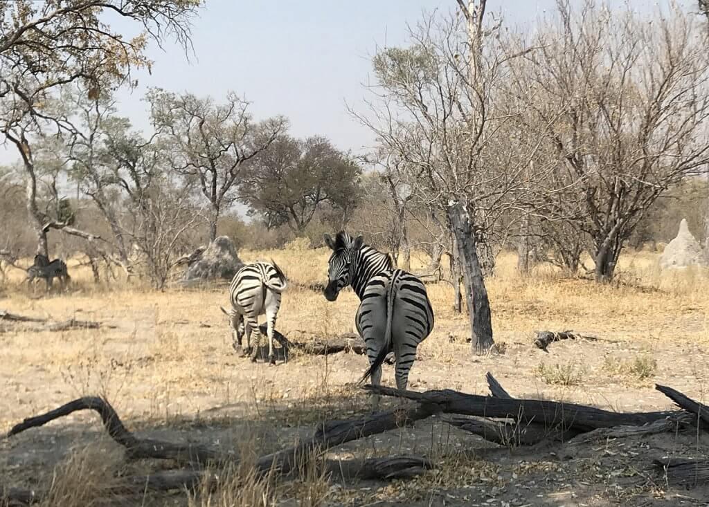 Zebras im Moremi Game Reserver Botswana