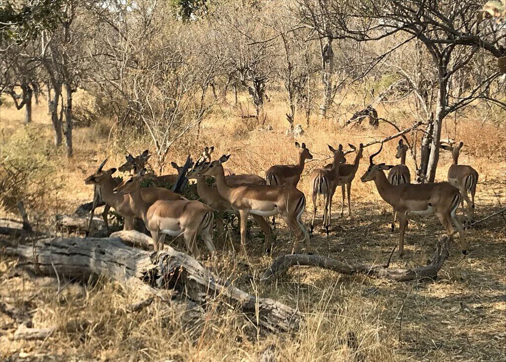 Impalas im Moremi Game Reserver Botswana