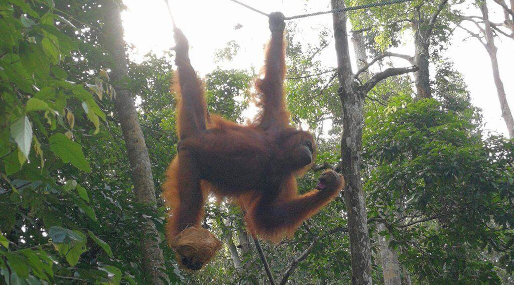 Hängender Orang Utan im Semenggoh Wildlife Rehabilitation Center auf Borneo.