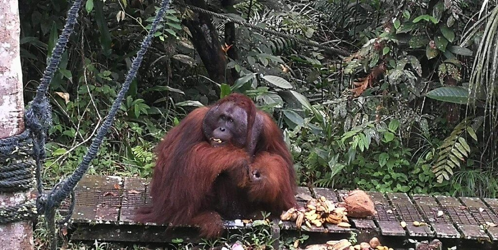 Orang Utan im Semenggoh Wildlife Rehabilitation Center auf Borneo.