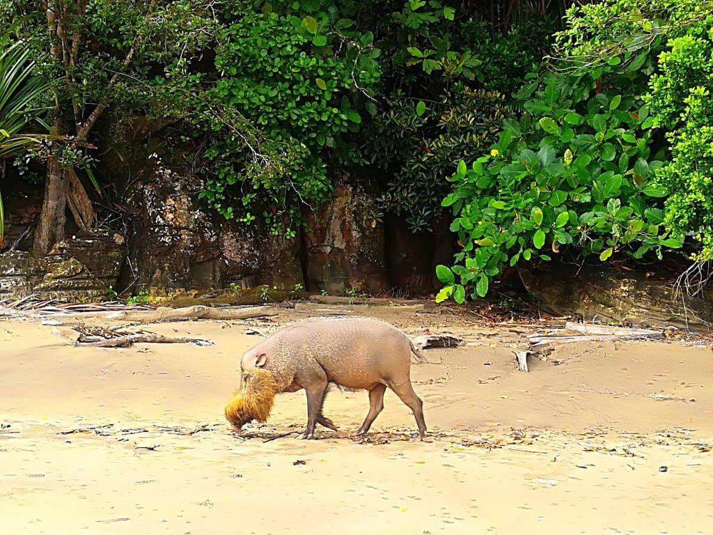 Bartschwein im Bako Nationalpark auf Borneo.