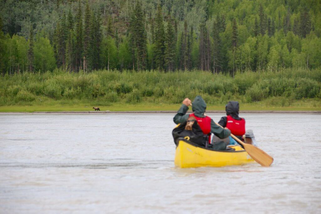 Abenteuerreise Alaska - Braunbäre am Flussufer des Yukon.