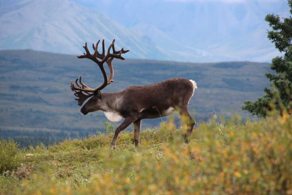 Abenteuerreise Alaska - Karibu im Denali Nationalpark.