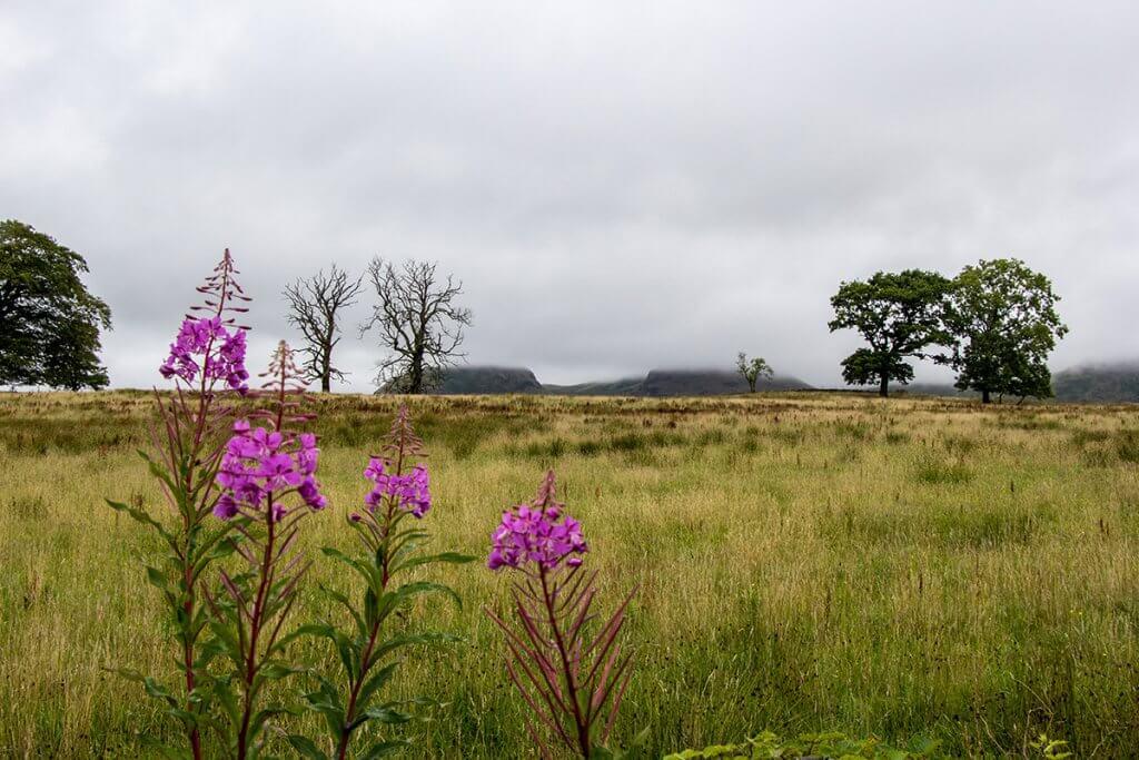 Grüne Wiesen, blühende Pflanzen und nebelverhangene Hügel auf dem West Highland Way in Schottland.