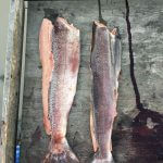 Yukon River Kanutour - Filetierter Lachs.