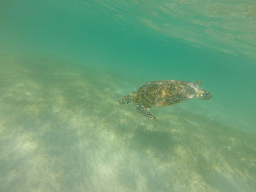 Roadtrip Yucatan - Eine Meeresschildkroete im glasklaren Wasser von Akumal, , Mexiko.