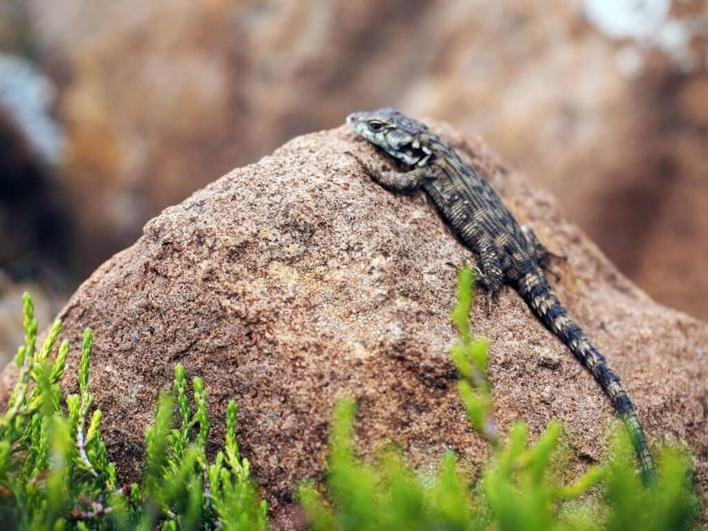 Salamander beim Sonnenbaden auf einem Stein in den Drakensbergen in Südafrika.