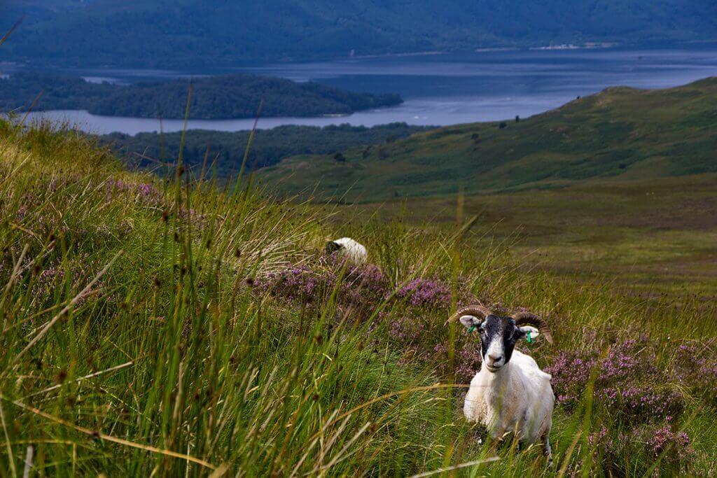 Neugieriger Beobachter: Ein Schaf auf dem West Highland Way in Schottland.