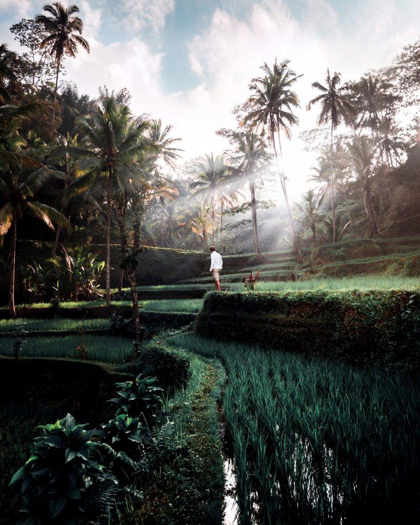 Reisterassen von Ubud auf Bali,Indonesien.