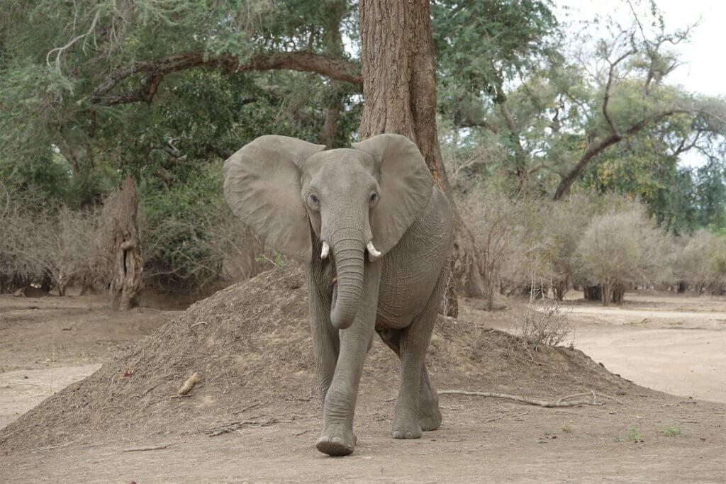 Ein wütender Elefant stapft auf uns zu.