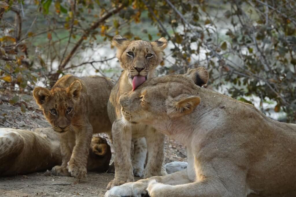 Roadtrip Afrika - Die Löwenjungen begrüßen ihre Mutter.