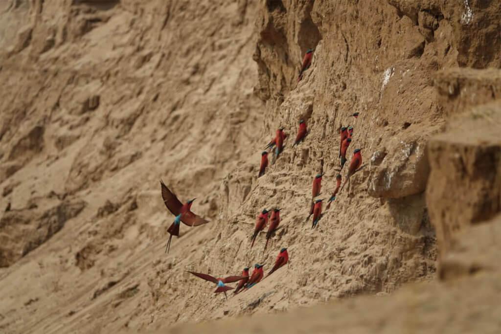 Scharlachspinte am Steilufer des Luangwa.