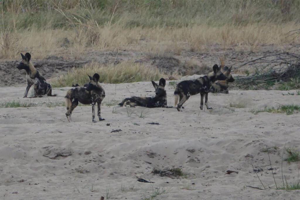 Roadtrip Afrika - Wildhunde auf der anderen Seite des Flusses.