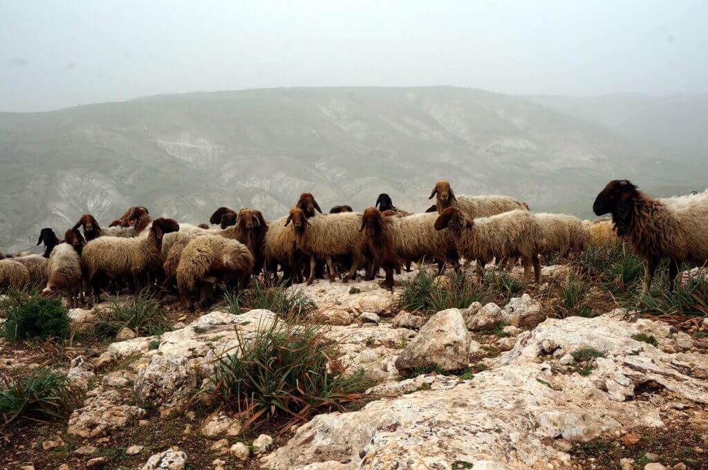 Schafe im Norden Jordaniens während der Trekking-Tour auf dem Jordan Trail.