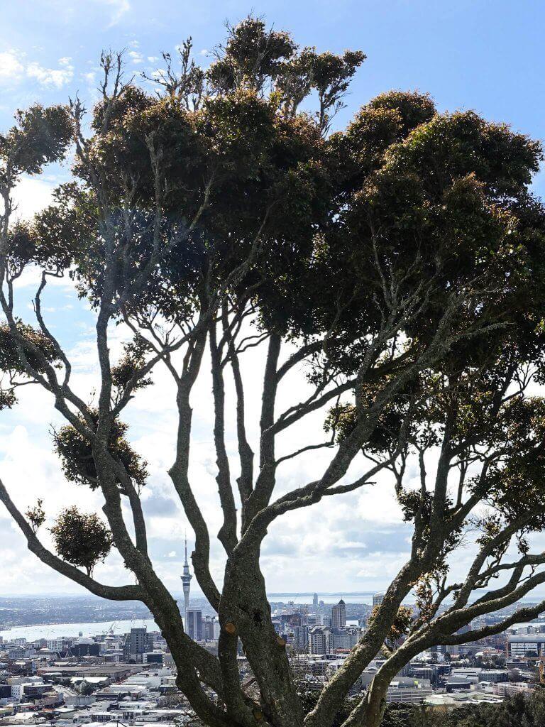 Baum in Auckland, Neuseeland.
