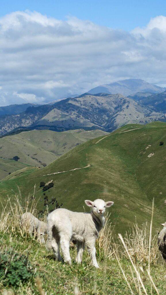 Lamm auf einer Weide in Neuseeland.
